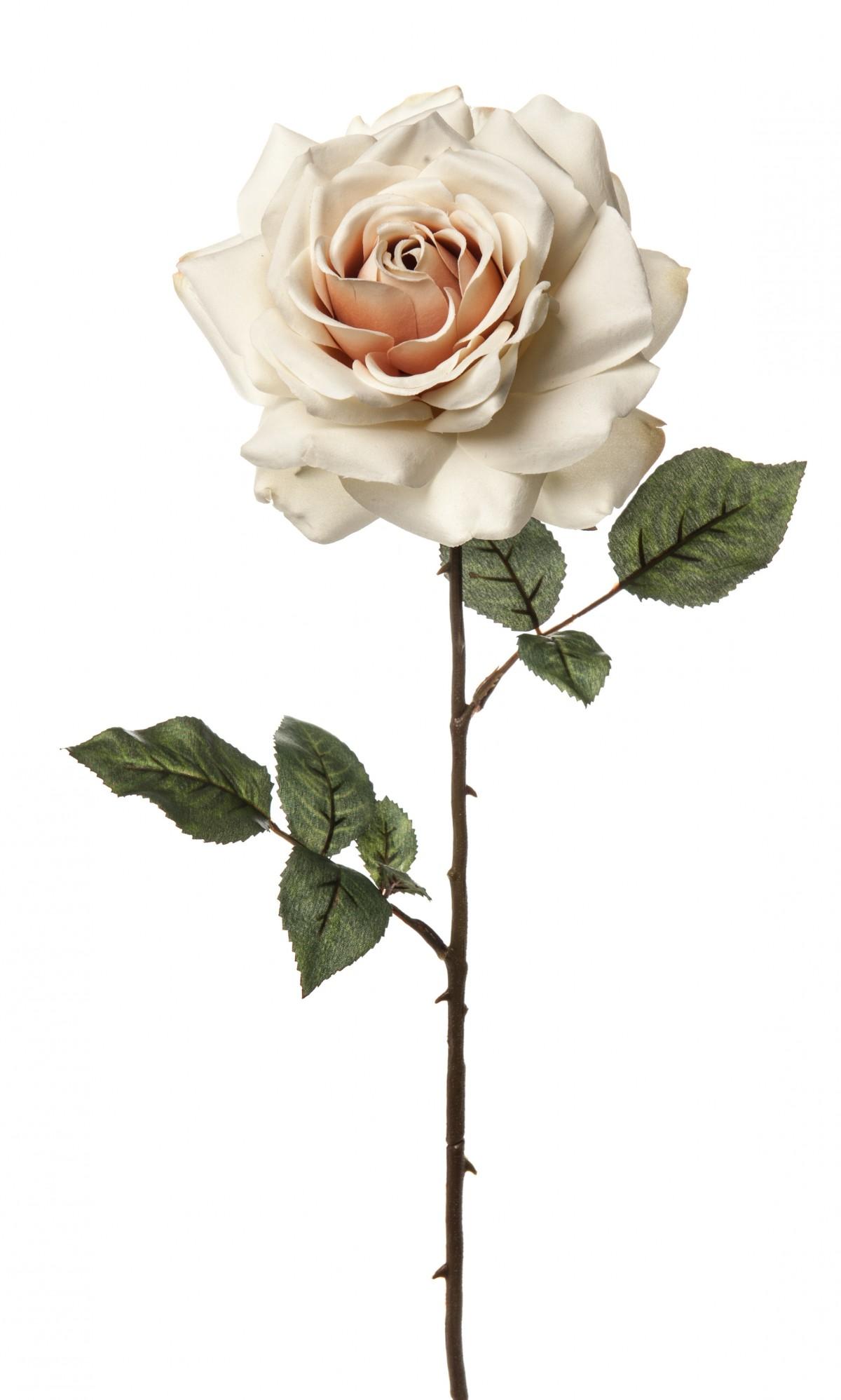 Rosa Madonna Champagne