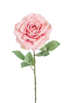 Rosa Madonna rosa