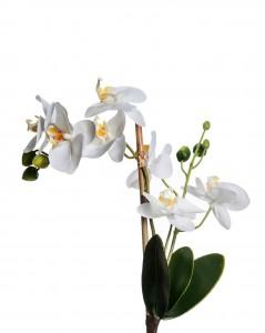 Tralcio Orchidea Phalaenopsis grande